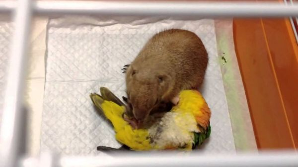 This Parrot and Prairie Dog Are the Best of Friends