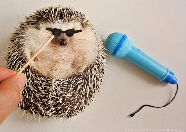 meet marutaro the cutest hedgehog in the world neatorama