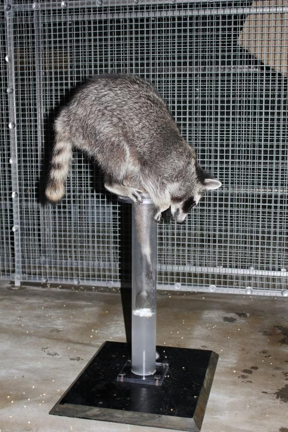 Raccoons Pass Famous Intelligence Test- By Upending It
