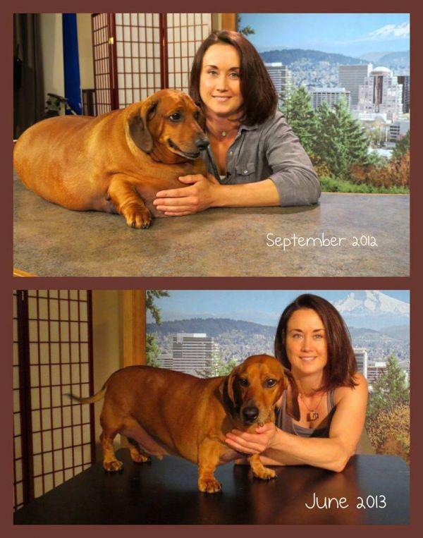 Fattest Dog in The World 2013 World's Fattest Weiner Dog