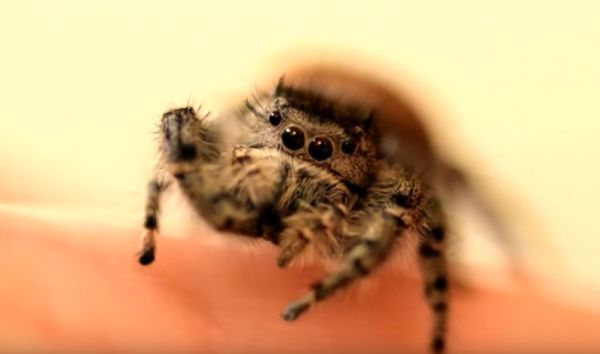 Petting a Pet Spider