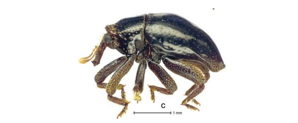 Beetle Named After Chewbacca