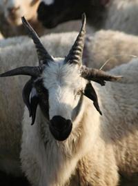 6 Horned Goat
