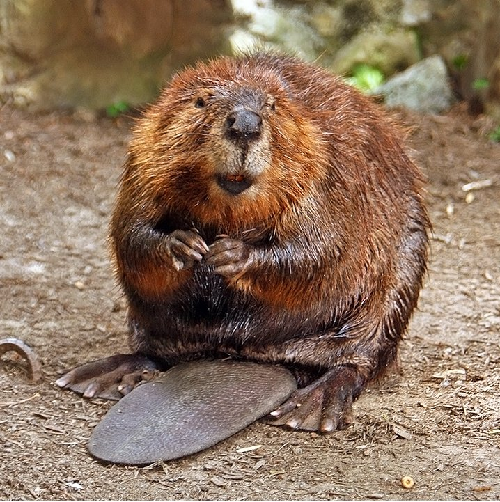 intriguing facts about the beaver mammal 1-5 interesting beaver facts beaver 1 european beavers cannot breed with north american beavers, and that the result of more than 27 attempts was a single stillborn kit – source 2 due to the aquatic habitat and behavior of a beaver, the catholic church officially categorized it as a type of fish, making.