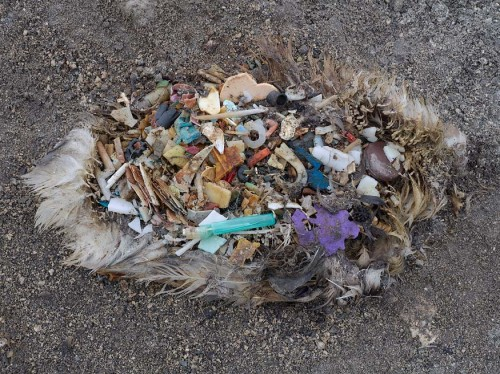 plastic in albatross
