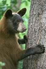 250px-American_black_bear_-_FWS