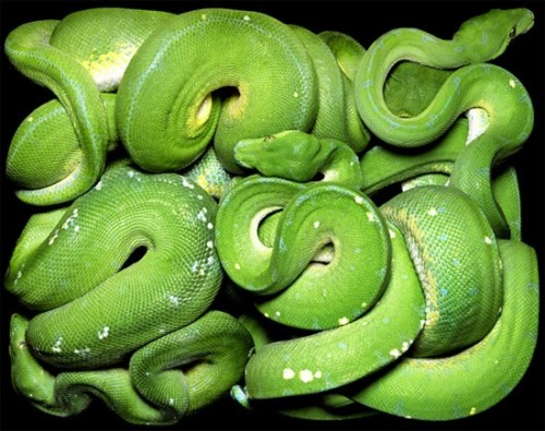 big-green-snake