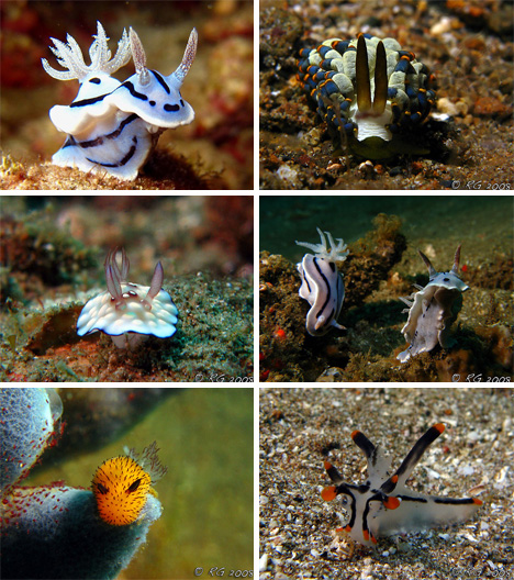 nudibranch photos from Raymond\'s Flickr