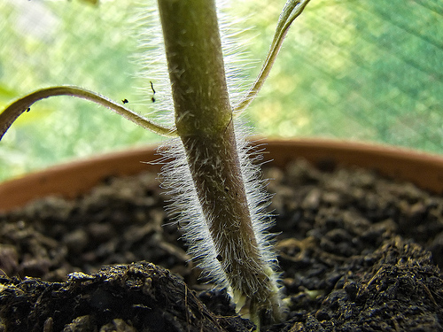 tomato plant stem