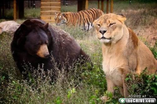 http://uploads.neatorama.com/wp-content/uploads/2010/01/a-lion-tiger-bear-friend-6.jpg