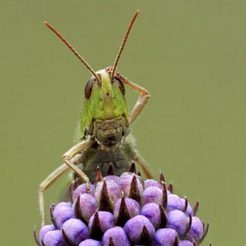 http://uploads.neatorama.com/wp-content/uploads/2011/10/grasshopper-499x499.jpg