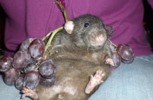 какова цвета бывают крысы фото ограниченной ответственностью