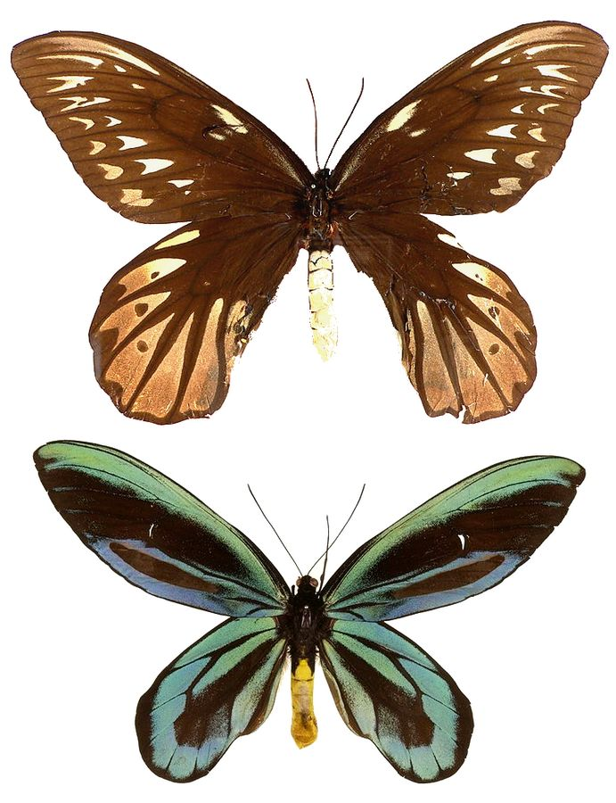 What Happened To the World's Largest Butterfly?