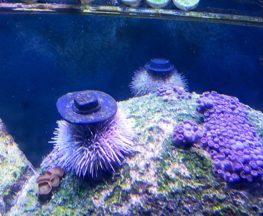 Hats for Sea Urchins