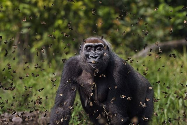 Gorilla Walking Through a Cloud of Butterflies and Other Neat Stories