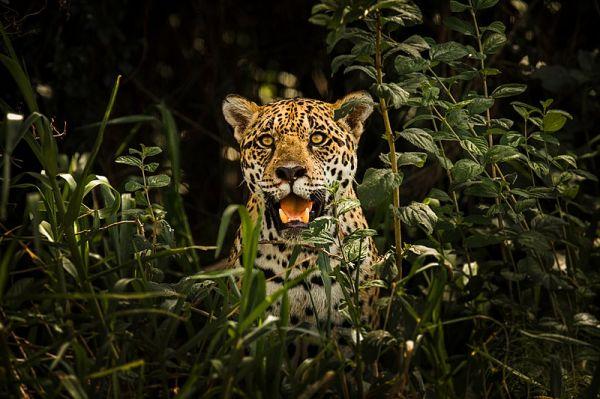 Should We Bring Jaguars Back to the US?