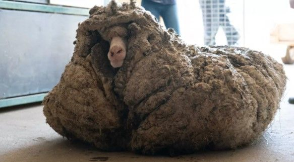 78 Pounds of Wool Were Shorn From This Sheep