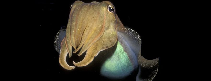 This Cuttlefish Passed A Cognitive Test For Children