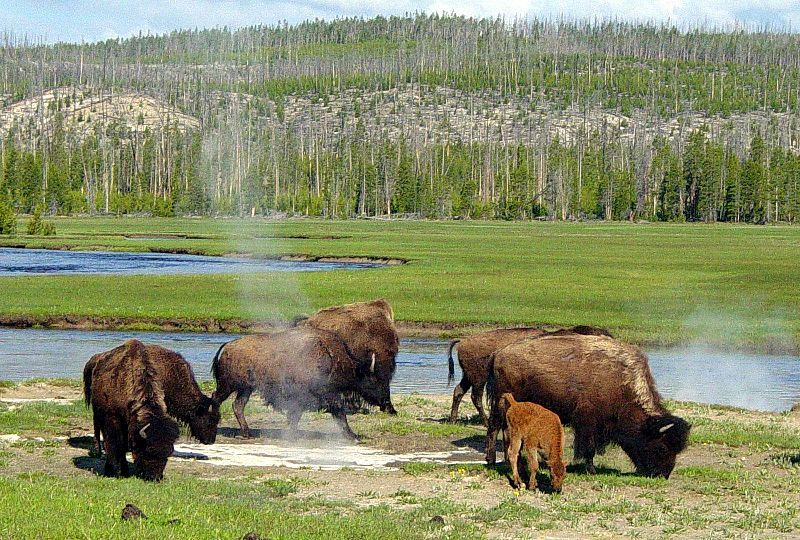 In Case You Encounter A Bison