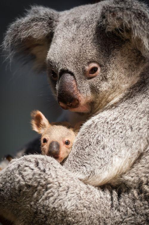Baby Koala And Mom Neatorama