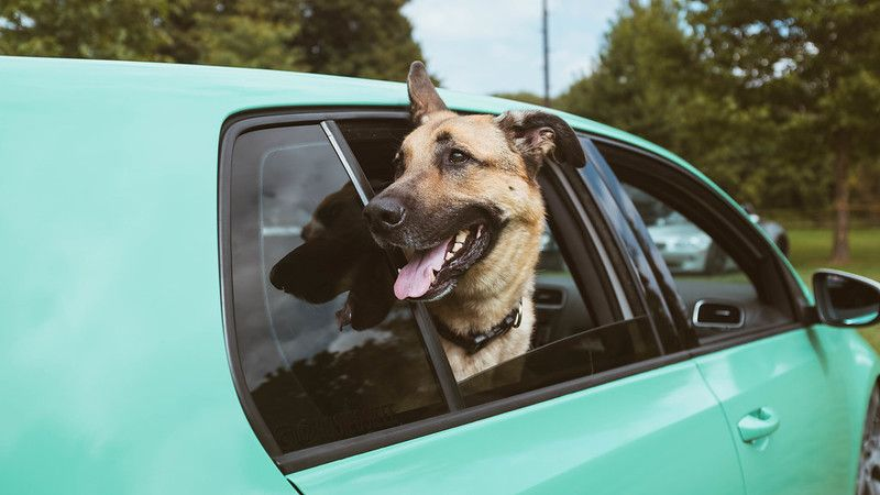 Why Your Dog Likes Sticking His Head out of the Car Window