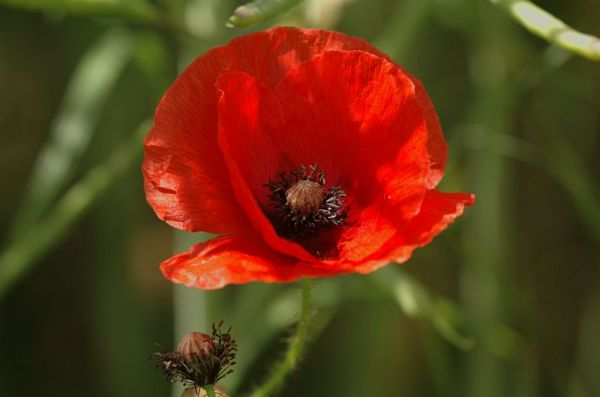 How the Poppy Came to Symbolize World War I