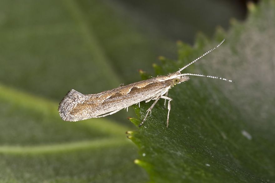 Genetically Engineered Moths Released For The First Time