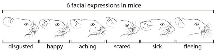 Identifying Facial Expressions On Mice