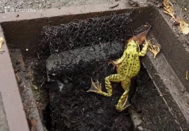 Frog Ladders Help Frogs Escape Roadside Drain Death Traps