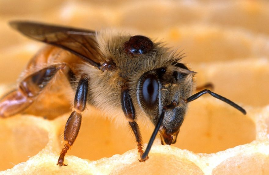The Most Frightening Enemy for The Honeybee