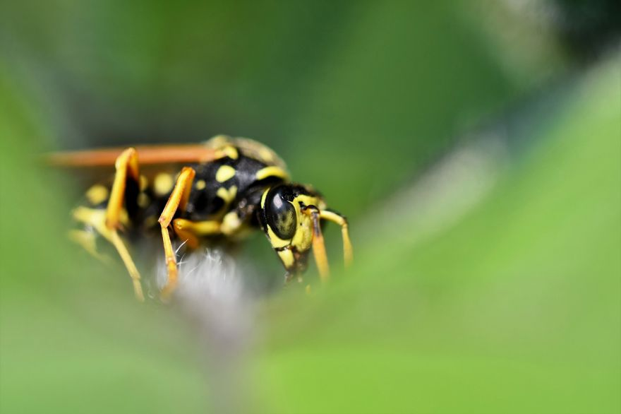 Scientists Take a Look at Wasps' Learning Behavior to Build Better Traps for Them