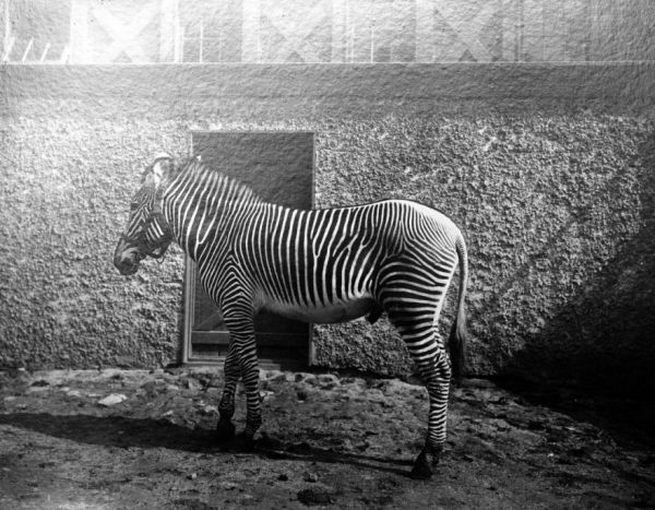 how-dan-the-zebra-stopped-an-ill-fated-government-breeding-program-in-its-tracks