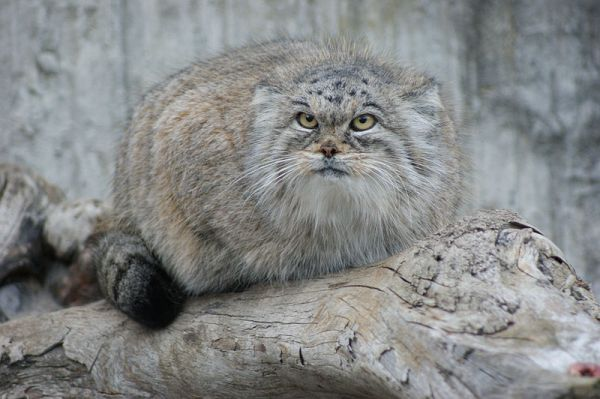 13 Fascinating Facts About Pallas's Cats