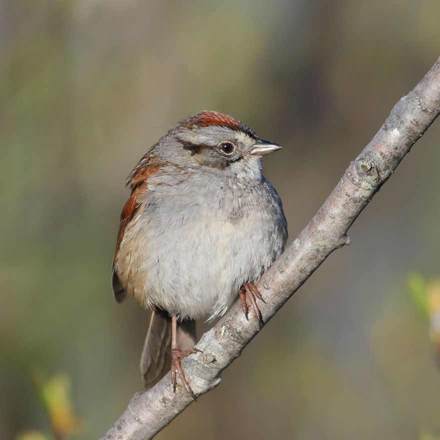 How Intimidating Is A Male Sparrow's Voice To Other Male Sparrows?