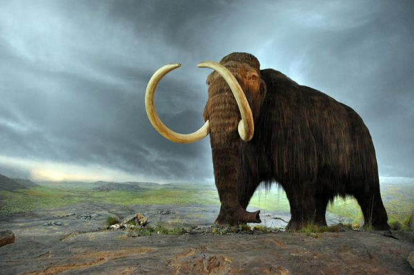 Should the Woolly Mammoth Be Reclassified as Endangered?
