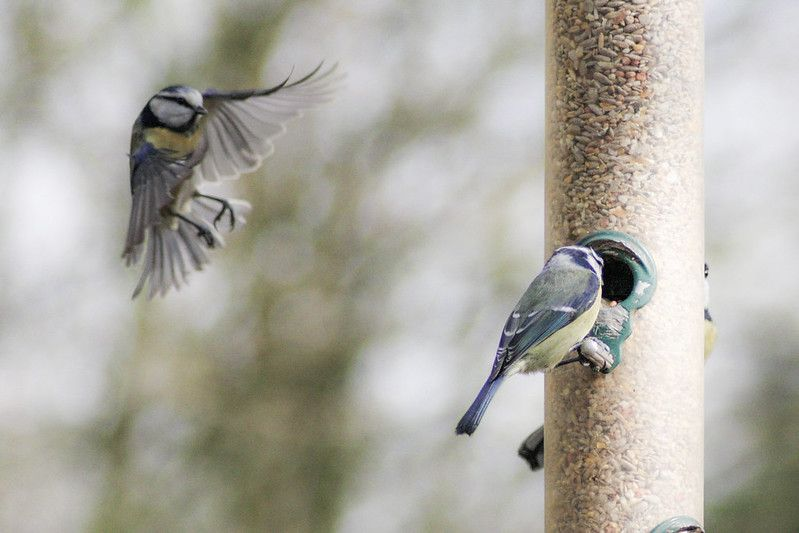 Scientists: Blue Tits Engage in Promiscuous Mating
