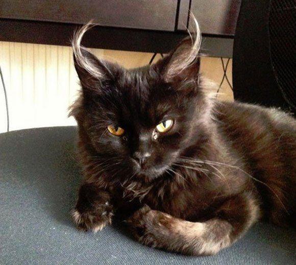 Demon Cat Has Fabulous Ear Hair Neatorama