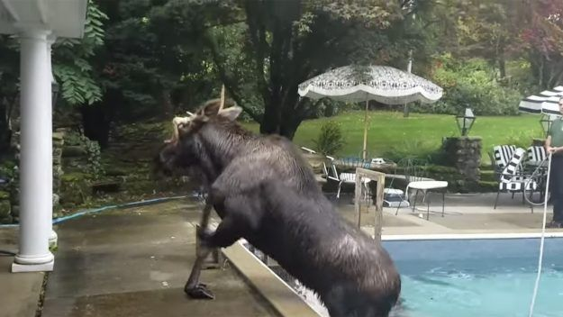 """A Moose's """"Mid-day Swim"""" Turned Into A Scary Situation"""