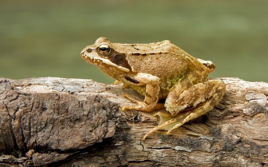 Bacteria that Can Potentially Save Frog Species from Extinction