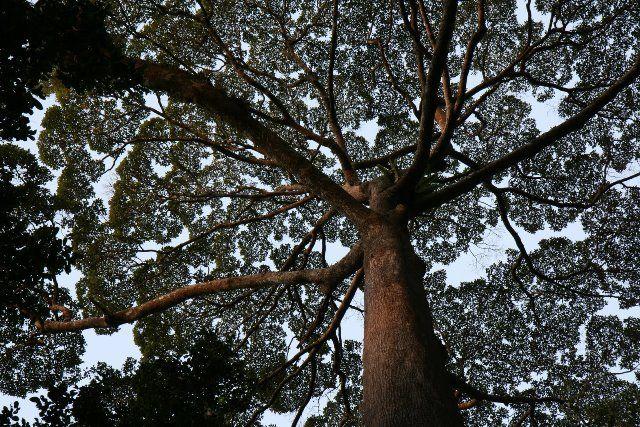 Arborist Climbs World's Tallest Tropical Tree