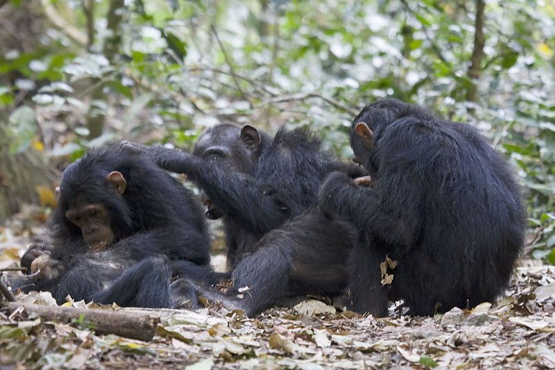 Chimps Pick Their Friends, Too
