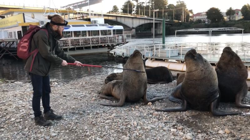 Urban Sea Lions in Chile Get Their Itchiest Spots Scratched with a Lice Comb Invented by Scientists