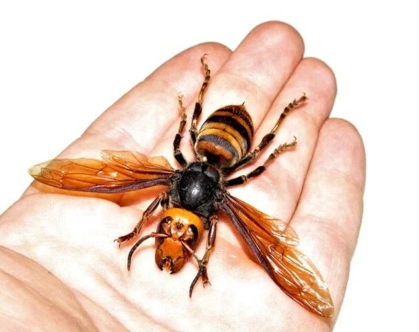 want-to-buy-a-dead-giant-murder-hornet