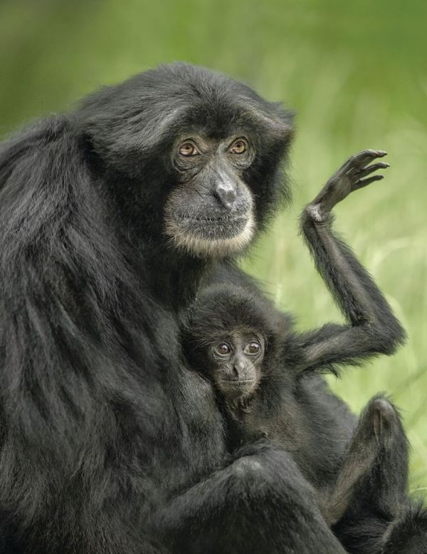 The Tiniest Siamang