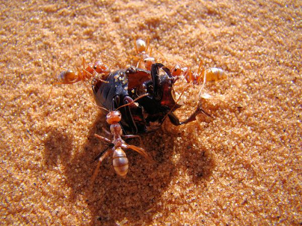 These Desert Ants Gallop at a Blistering 108 Body Lengths Per Second