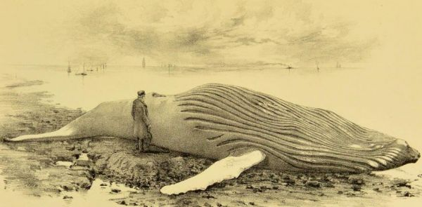 a-dead-decomposing-whale-once-toured-the-united-kingdom