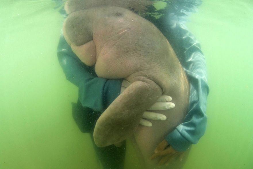 a-baby-dugong-thanks-her-rescuers-by-giving-them-a-huge-hug