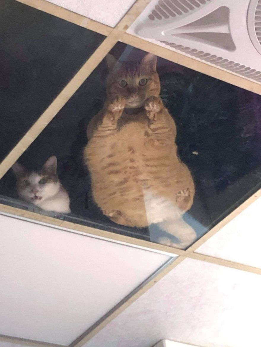 shopkeeper-installs-glass-panels-so-that-ceiling-cats-can-watch-customers