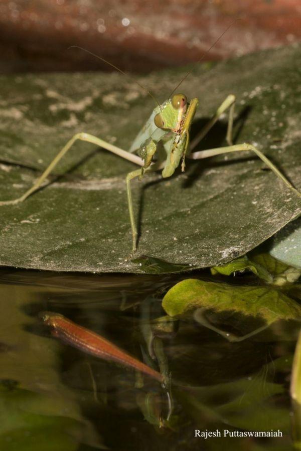 Praying Mantis Catches, Eats Fish