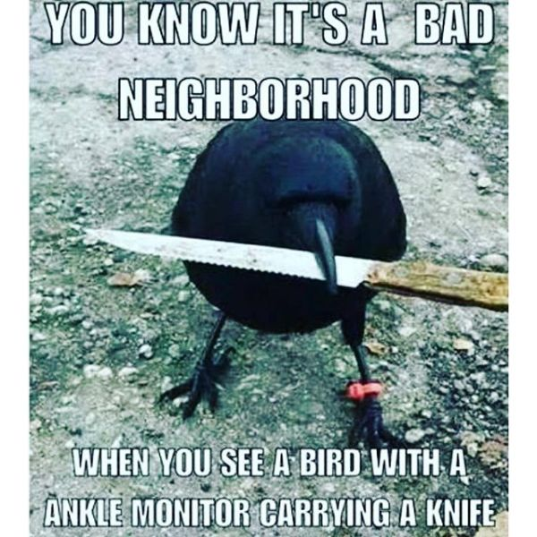 Canadas Most Notorious Crow Steals Police Evidence Neatorama